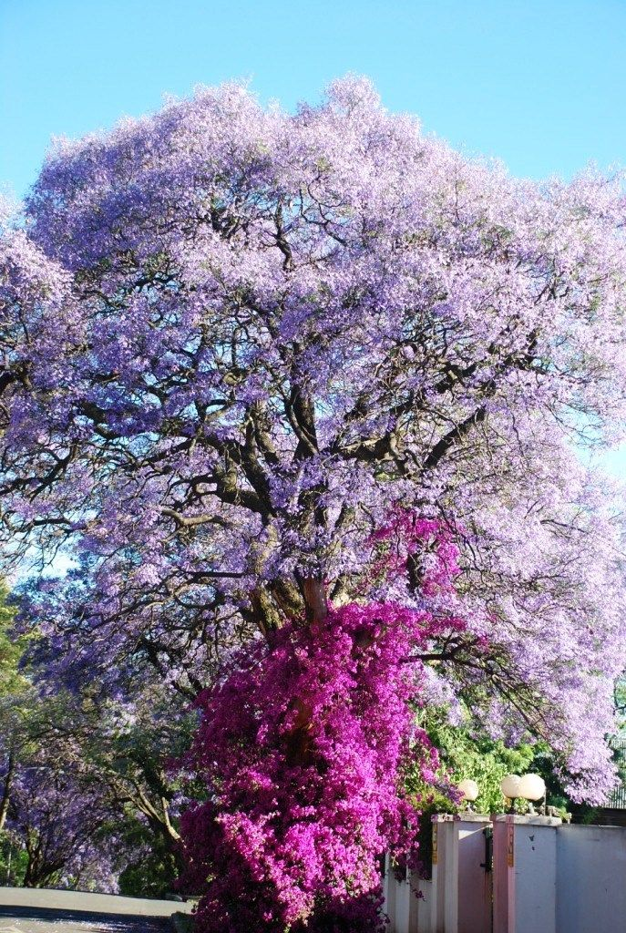 Jacaranda tree being attacked by a Bougainvillea in Melville, Johannesburg, South Africa (photo by Jared Meadors of Medusa Properties, Houston, TX)
