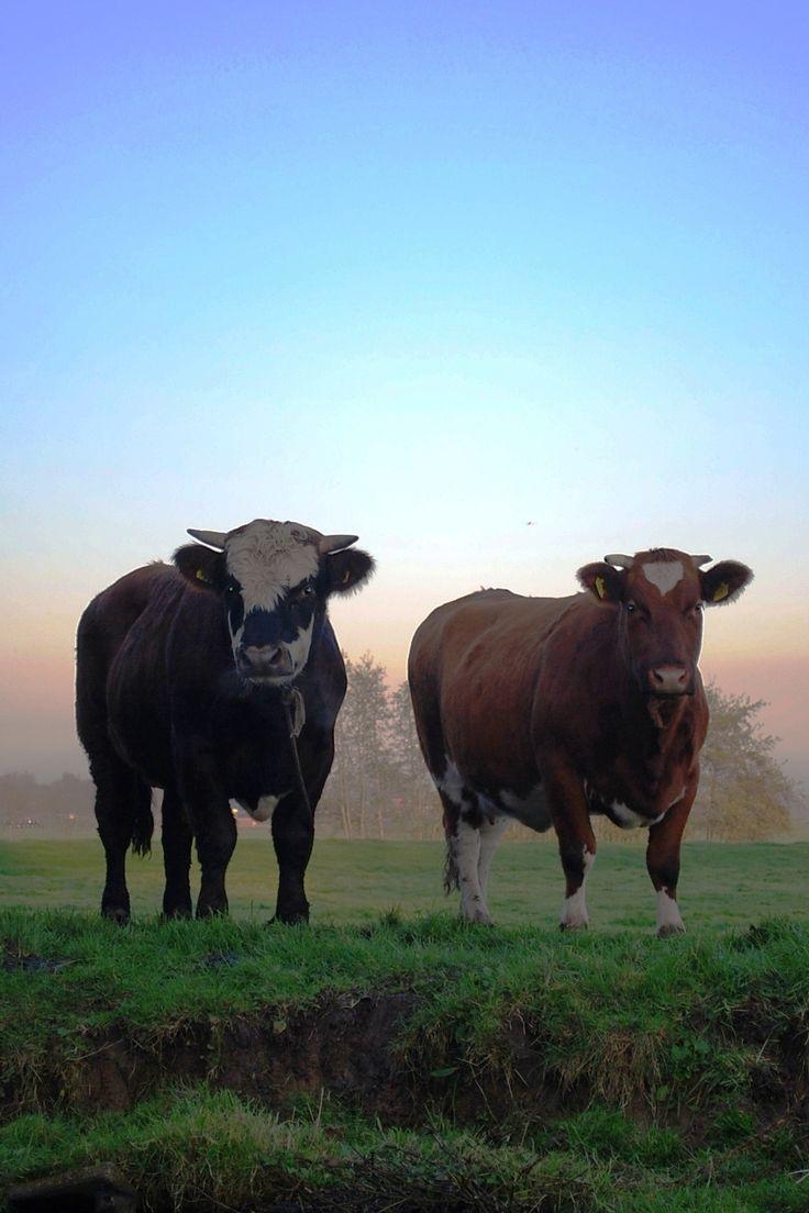 Cow near Warmond