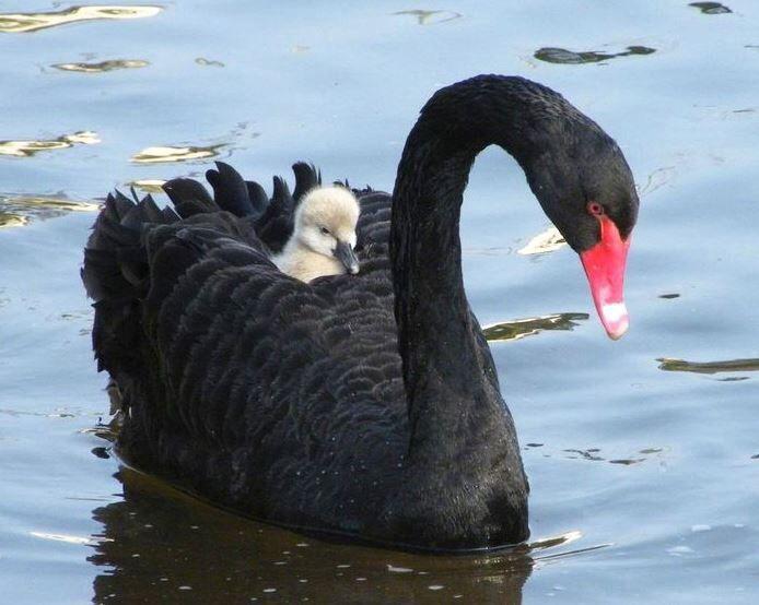 Zwarte zwaan met baby
