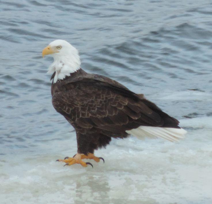 Adult bald eagle standing on ice.