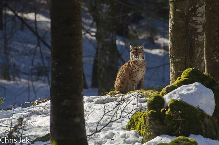 Lynx d'Eurasie - Lynx lynx - Eurasian lynx