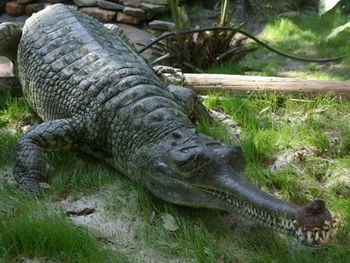 49 best images about Gators, Crocs, and Gharials; oh my!! on Pinterest