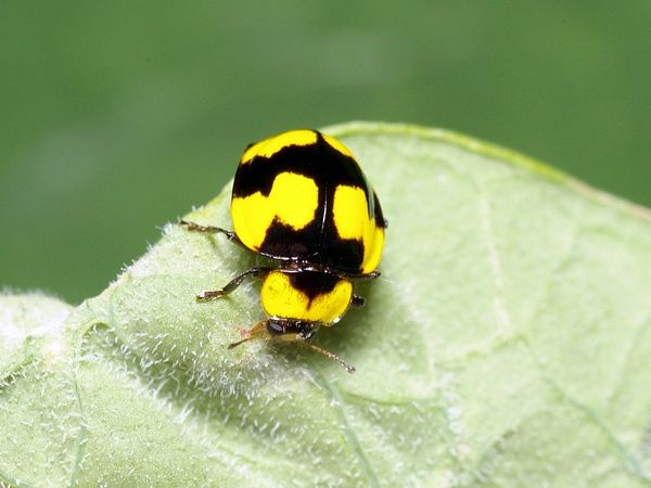 The Fungus-eating Ladybird is bright yellow with black markings. It is active during the day and fast moving. It drops to the ground or takes flight readily when disturbed. The larvae are creamy white with rows of black dots on their back. The pupa are also white with rows of black dots.