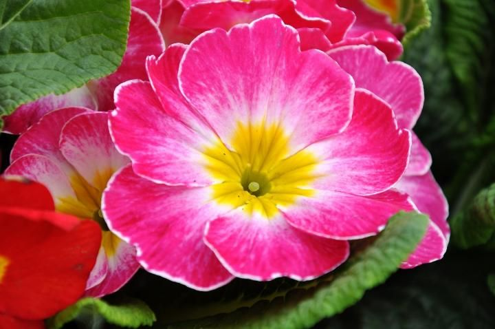 February birth month flower, primrose, The Old Farmer's Almanac