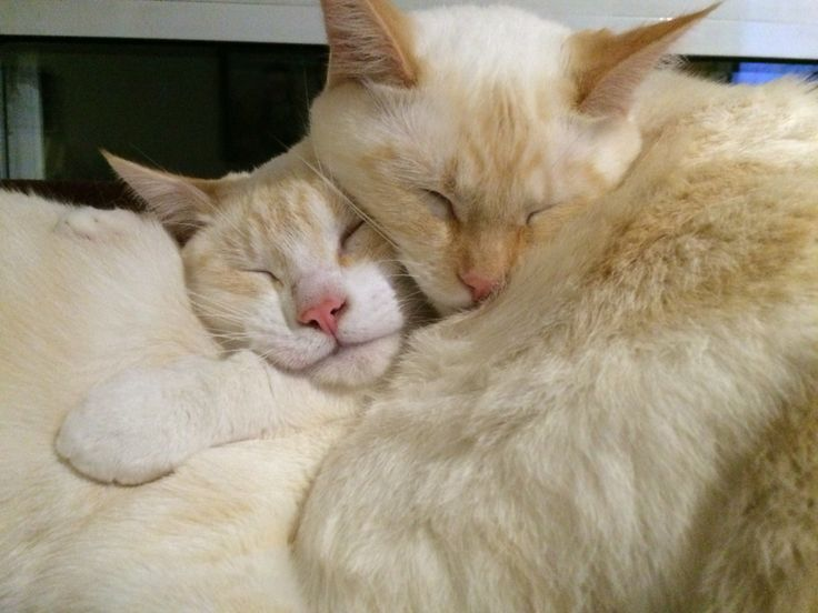 I own 2 Siamese Flame Point kittens, they were found on a street in a garbage can so we decided to call them the Sesame street kittens! Now they are living lively lives and KEEP HUGGING ON visit Snuggles from Snuffy and Clementine for more info