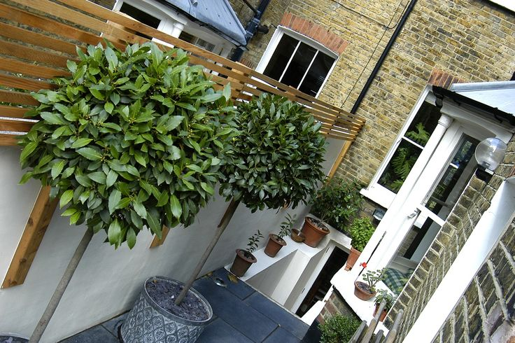 bay tree topiary (laurus nobilis) against a white rendered wall with contemporary horizontal slatted fence