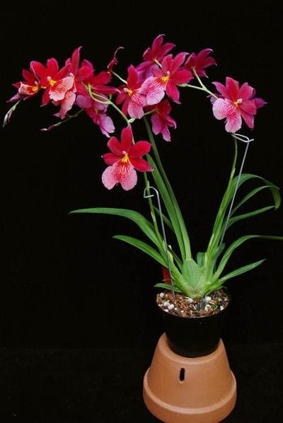 Intergeneric Orchid Hybrids | Cura delle orchidee