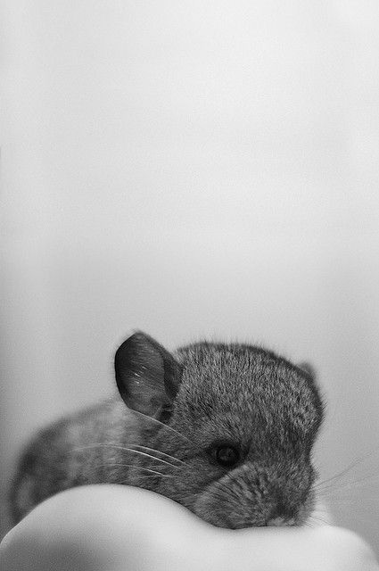 Aww! Sweet Baby Chinchilla!