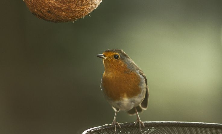 Robin by Chris Cheshire on 500px