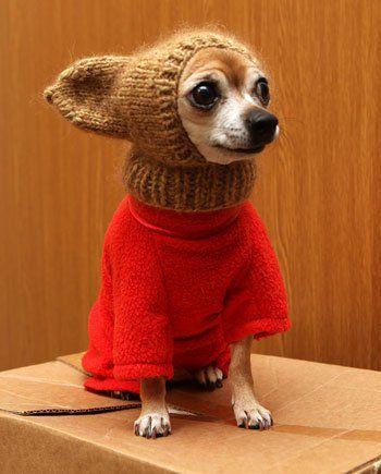 собака Гоблина, чихуахуа, смешная одежда для чихуа