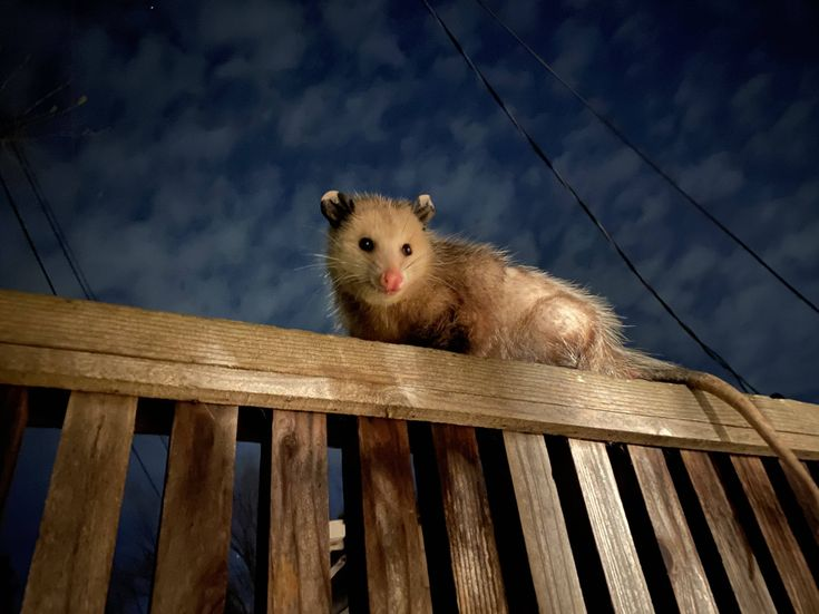 ITAP of this possum in my back yard by bananaseepeep ...