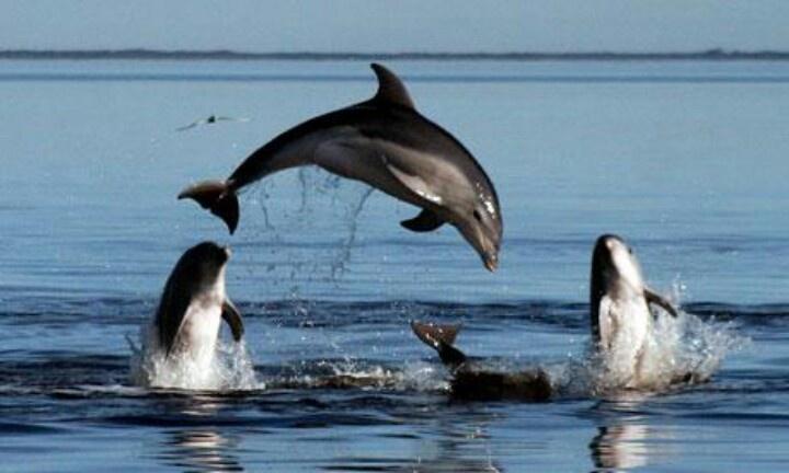Delfins in Ionian Sea Greece