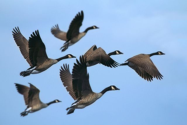 Migrating Canada Geese, via Flickr.