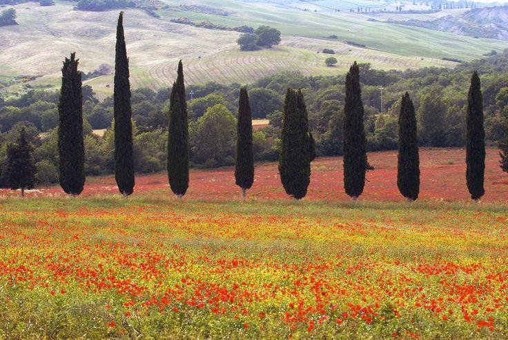 Cupressus Sempervirens. Mediterranean Cypress.Tuscany Italy