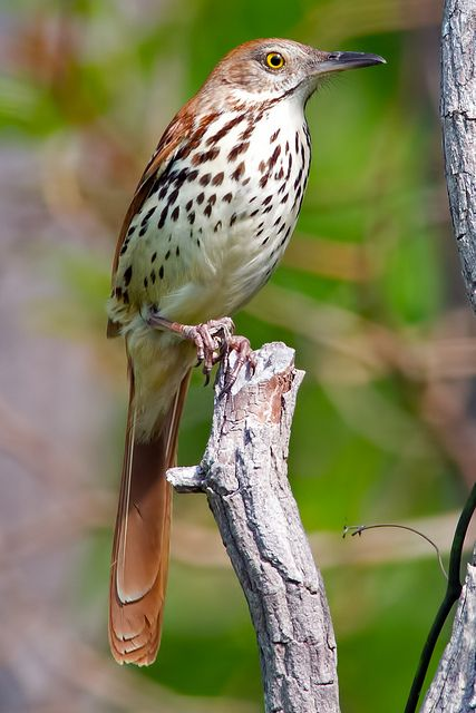 Brown Thrasher saw my first 2 at cement park off of Walton in Pontiac, mi