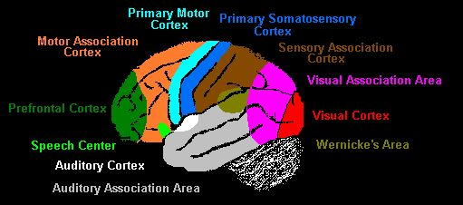 Functional divisions of the cerebral cortex