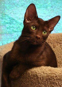 havana brown cat | love the chocolate brown Havanna and cool waters