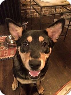 Australian Kelpie Mix Dog for adoption at Rescue Dogs Rock, New York, New York - Ava is a 5-6mo.old puppy who was pulled from a high kill shelter in the south with a broken leg. As soon as she heels she will be on her way up north to find a forever home.