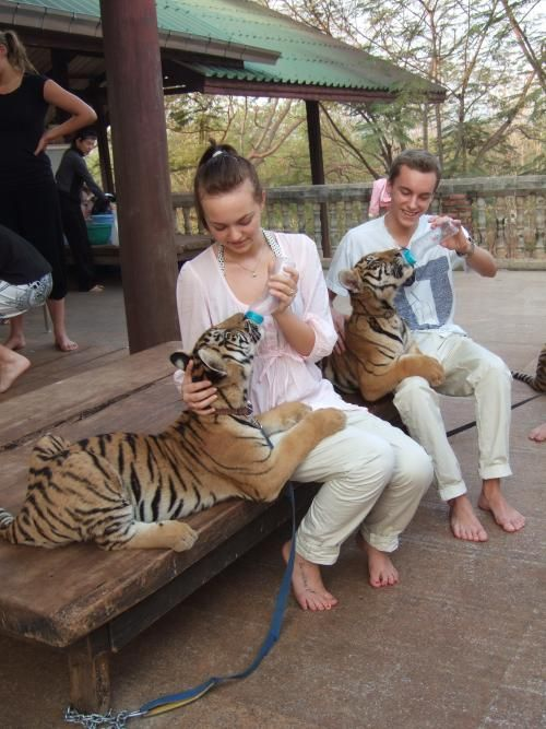 At the #TigerTemple in Kanjanaburi #Thailand spend time with tigers, feed them, walk with them