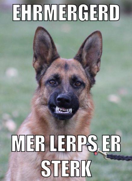 Funny Meme German : Best images about german shepherds on pinterest