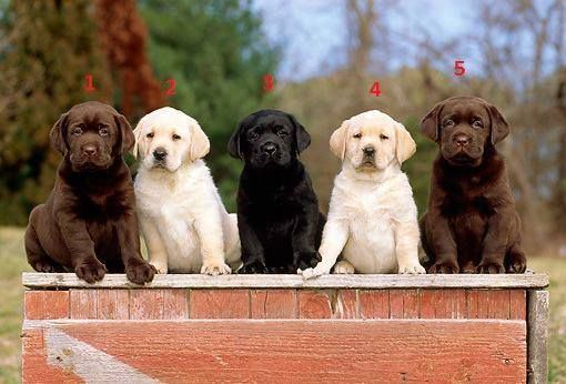 Labrador Retrievers yellow black chocolate #labrador # ...