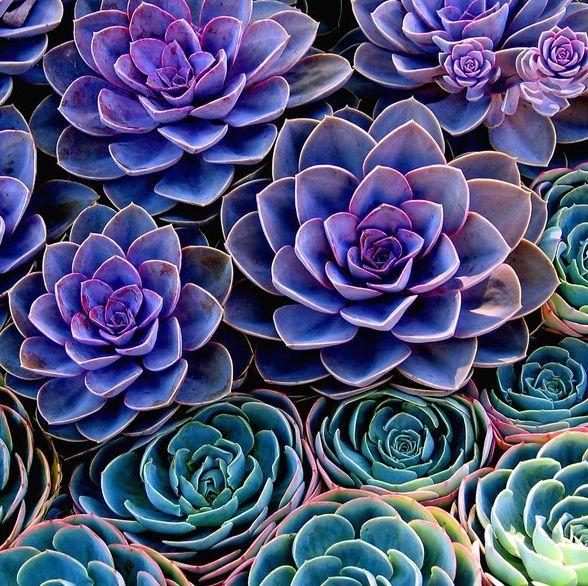 Purple succulents...