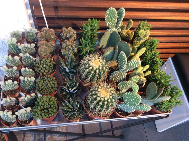 Masser af små kaktus