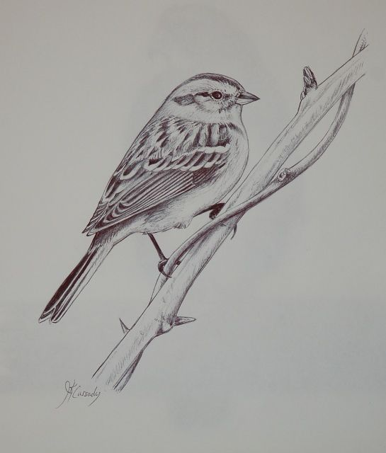 Sparrow Bird Drawing