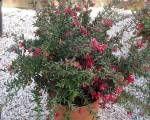 Grevillea cherry Cluster Bodur Gravilla, 30-50 cm, Saksıda - Fidan Satışı, Fide Satışı, internetten Fidan Siparişi, Bodur Aşılı Sertifikalı Meyve Fidanı Süs Bitkileri