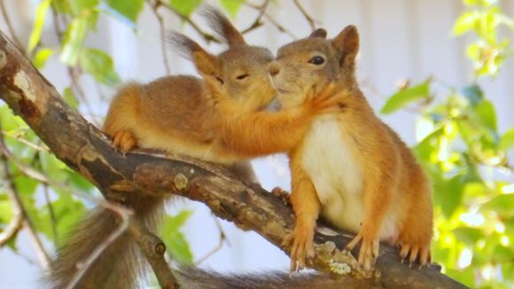 Aww what a sweet capture; Touko the squirrel cub gives a kiss to his mother's cheek! Lappeenranta | Photo Sirkku Smolander