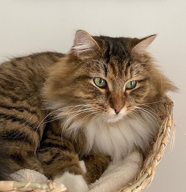Have You Seen Chewie A Missing Siberian Cat Lost At Serangoon