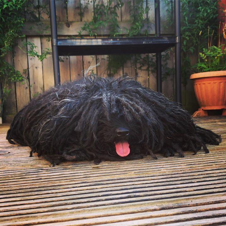 Pin By Ambar On Puli In 2020 Komondor Dog Dog Day Afternoon