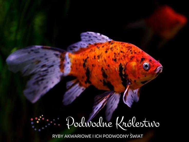 Ryby akwariowe i akwarystyka słodkowodna