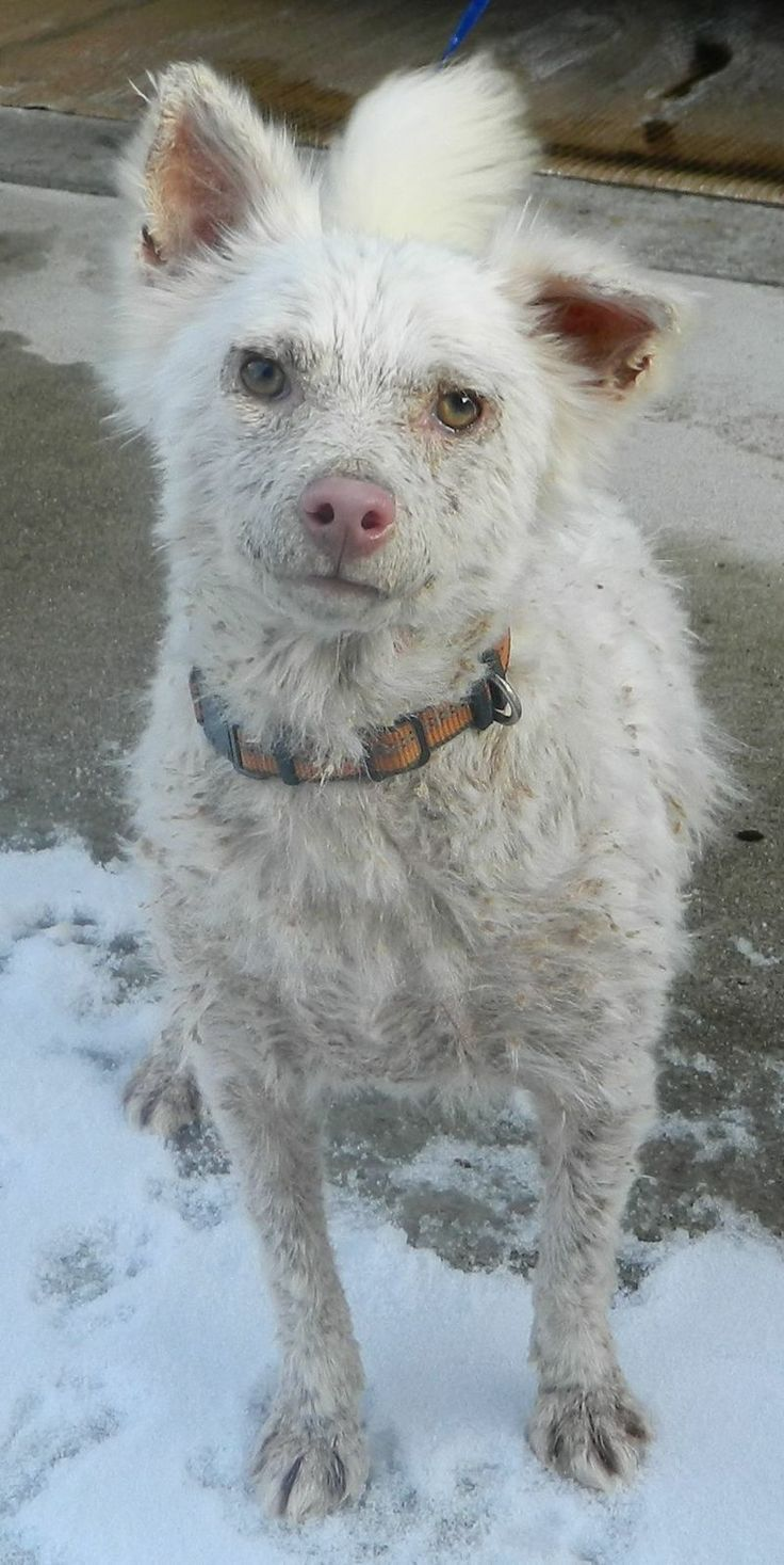 """Greed -Ohio Small Dog Rescue - Rossford, OH """"Kozie"""" needs a kind family to look past her scabs and scales. She is a happy, playful girl who needs someone to tell her that she's beautiful."""