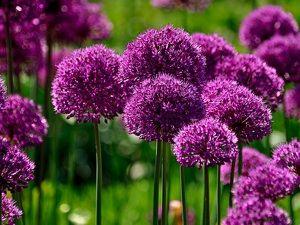 les 25 meilleures id es de la cat gorie ail d ornement sur pinterest noms de fleurs violettes. Black Bedroom Furniture Sets. Home Design Ideas
