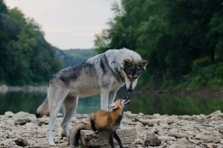 A Fox And The Wolf | Bored Panda