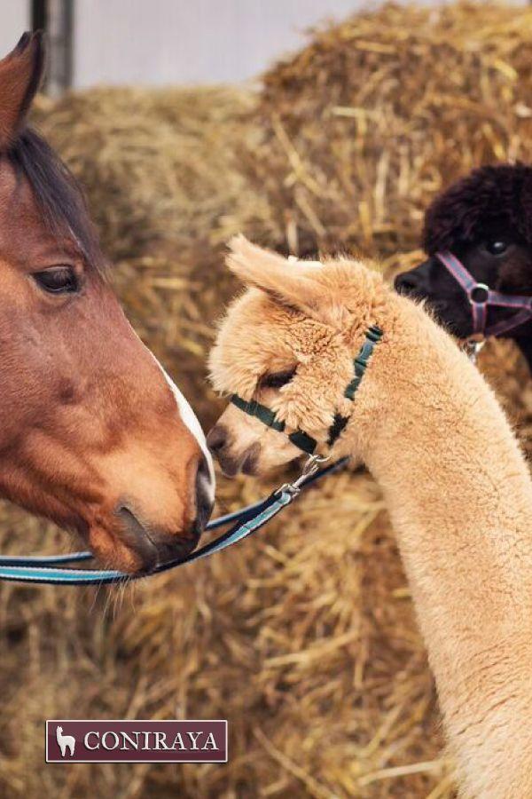 Truly in love! <3 #horse #alpaca #coniraya