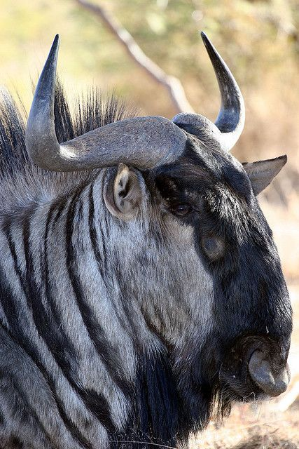 Wildebeest in Namibia by Jason Webber