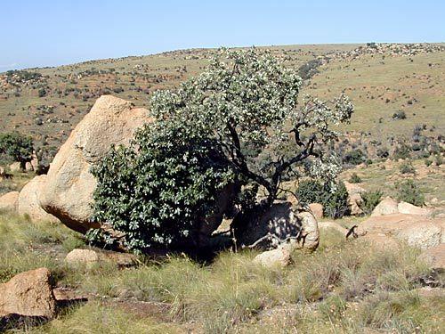 Brachylaena rotundata (Mountain silver oak ) - Warthog Lodge