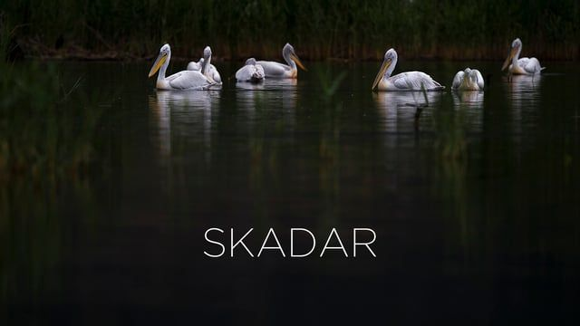 Skadar Lake is a transboundary wetland shared by Montenegro and Albania that hosts a small breeding colony of the endangered Dalmatian Pelican. This colony has struggled for decades due to the floods and human disturbance. A collaborative team of CEPF (Critical Ecosystem Partnership Fund) grantees is working to restore the balance.  JAIME ROJO & FRANCISCO MÁRQUEZ ► Direction / Script / Photography & Video / Sound JOSÉ BAUTISTA / Kanseisounds ► Film Editing / Music BJANKA PRAKLJAČIĆ & ISA...