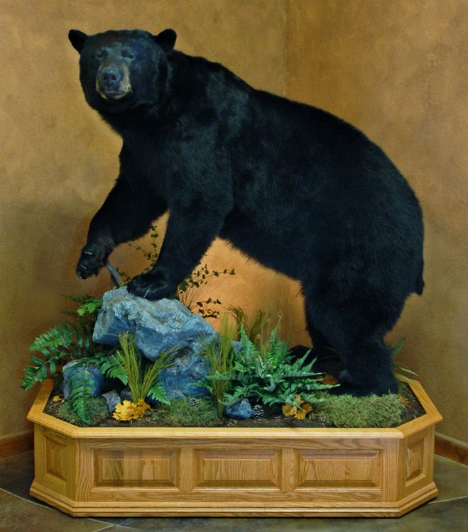 10 Best Images About Bear Mounts On Pinterest