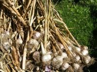 Garlic: Planting, Growing and Harvesting Garlic | The Old Farmer's Almanac