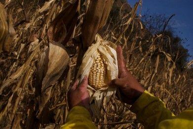 Masacre del maíz mexicano
