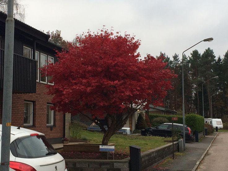 Japansk Blodlönn, Acer palmatum 'Atropurpureum