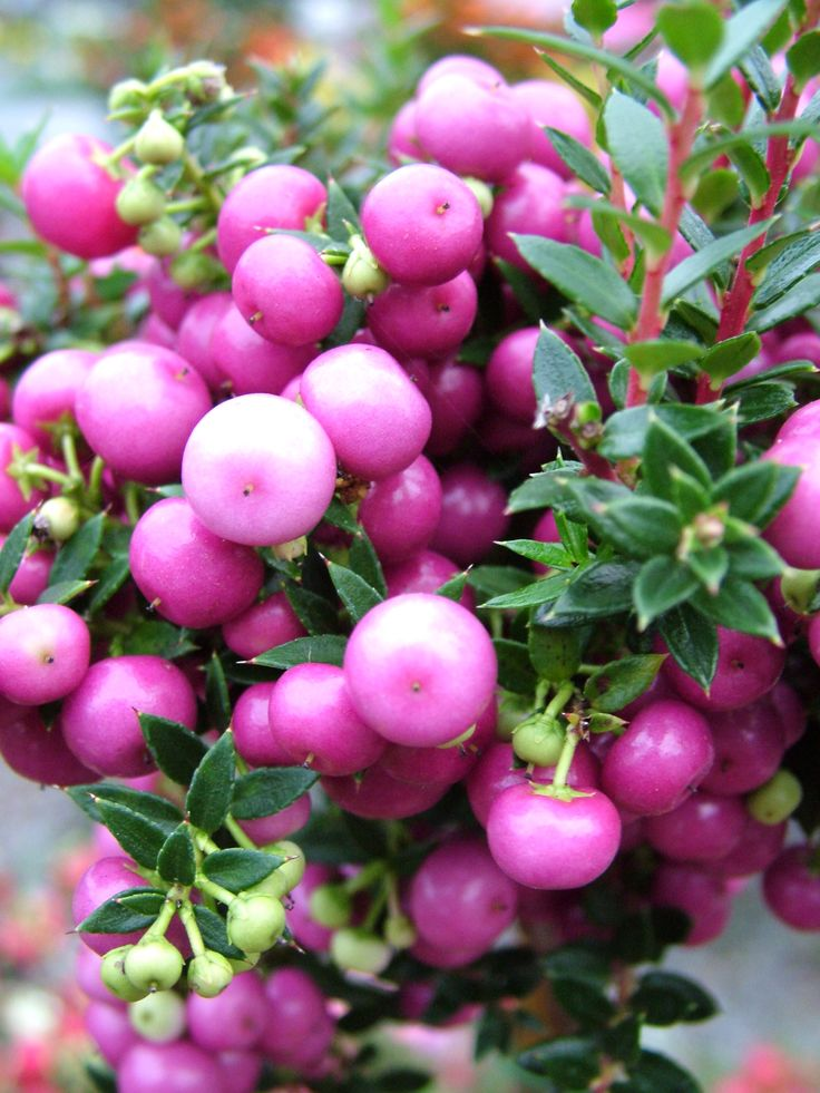 Pink berries of Pernettya in the #garden. Will hold the berries all winter long as the birds won't eat them