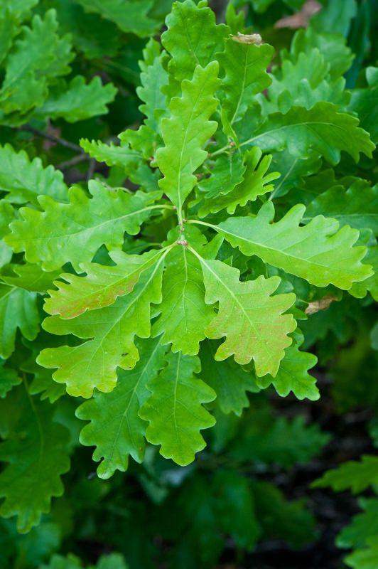 Quercus petraea (Sessile Oak; Chêne rouvre; フユナラ)