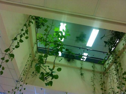 M s de 25 ideas incre bles sobre enredadera artificial en for Planta decorativa venenosa