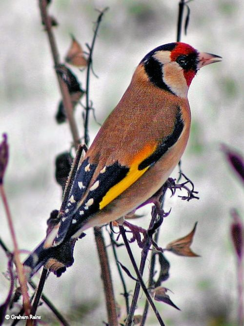 Goldfinch (Carduelis carduelis). Most numerous in Southern England. #Birds #UK