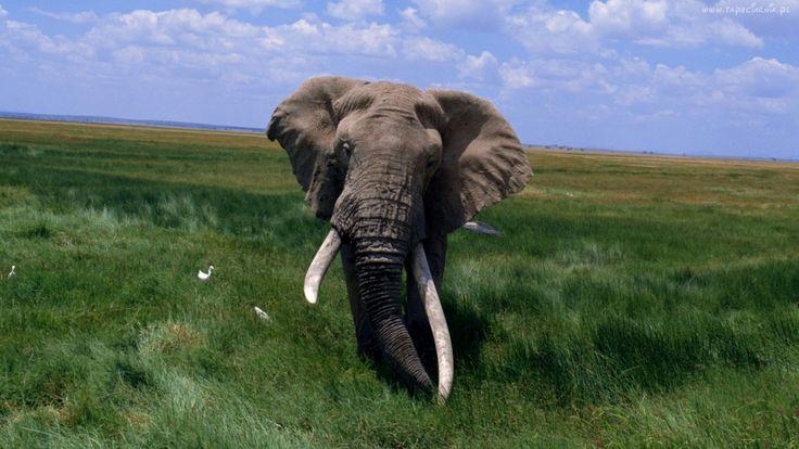 Słoń, Ptaki, Sawanna