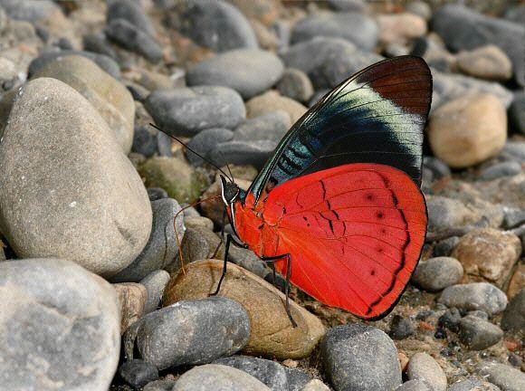 Butterflies of Amazonia - Panacea regina